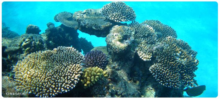サンゴ礁キャラしーさんゴ